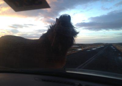 Ein Island-Pferd ganz nah